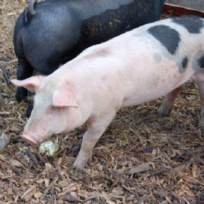 Avalon Assessments Ltd - Certificate of Competence in Pig Husbandry (100/5728/6)